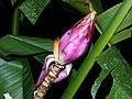 Wild Banana (Musa campestris) (8411799382).jpg