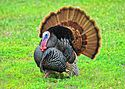 Wild Turkeys.jpg