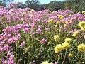 Wildflowers - panoramio.jpg