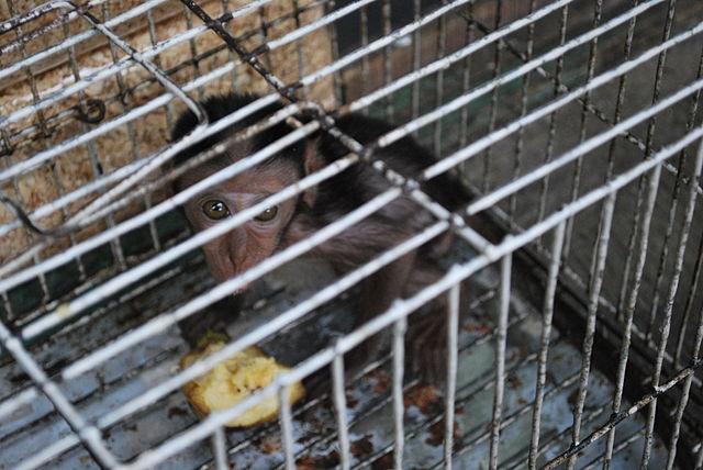 File:Wildlife trade scared baby monkeyWikimedia