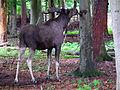 Wildpark Alte Fasanerie männlicher Elch Juni 2102.JPG