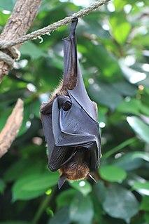 Large flying fox Species of fruit bat