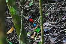Wilson's bird-of-paradise on Pulau Batanta, Raja Ampat.jpg