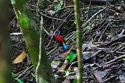 Wilson's bird-of-paradise on Pulau Batanta, Raja Ampat.jpg