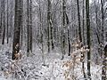 Winter-forest-snow - West Virginia - ForestWander.jpg