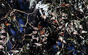 Wintering Monarch butterflies 15.jpg