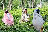 Women harvesting tea, West Bengal 03.jpg