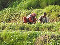 Women working in Agriculture fields.jpg
