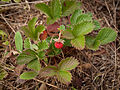 Woodland Strawberry (Fragaria vesca) (6247538566).jpg