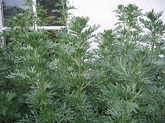 Artemisia absinthum