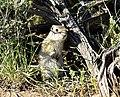 Wyoming ground squirrel on Seedskadee National Wildlife Refuge (35103850926).jpg