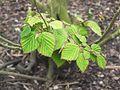 Wzwz tree 05a Corylopsis pauciflora.jpg