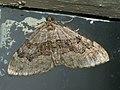 Xanthorhoe quadrifasciata - Large twin-spot carpet - Ларенция четырёхполосая (26087890057).jpg