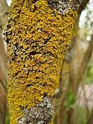 Xanthoria parietina southern Dalarna.jpg