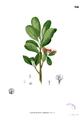 Xanthostemon verdugonianus Blanco2.300.png