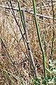 Xylocopa iris nest 2.JPG