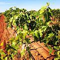 Year old grafted vines.JPG