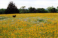 Yellow Spring.jpg