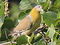 Yellow footed green pegion.JPG