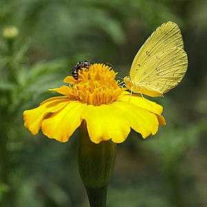 Yellow insects on yellow flower