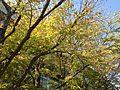 Yellow leaves in Hakozaki Campus, Kyushu University 20141027.JPG