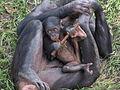 Young Bonobo - Jacksonville zoologcal garden, Florida, USA.jpg