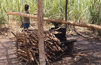 English: Young boy grinding sugar cane between...