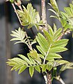 Young leaves of a Sorbus.jpg
