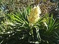 Yucca elephantipes HRM2.JPG