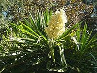 Yucca elephantipes HRM2