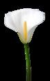 Zantedeschia aethiopica 002.png