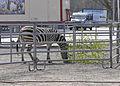 Zebra-Zirkus-Charles-Knie-02.jpg