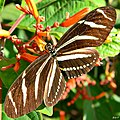 Zebra Longwing (Heliconius charithonia) (6265529461).jpg