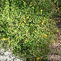 Zexmenia hispida form.jpg