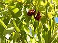 Ziziphus jujuba Frutos 2010-10-26 ArboretoParqueElPilarCiudadReal.jpg