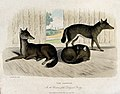 Zoological Society of London; three jackals. Coloured etchin Wellcome V0023134.jpg