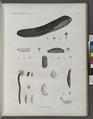 Zoologie. Echinodermes. Holothuries (NYPL b14212718-1268612).tiff