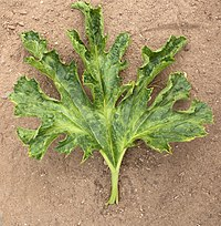 Zucchini yellow mosaic virus leaf.jpg