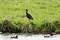 Zwarte-ibis-2 (28541433652).jpg