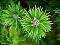 "Zwergkiefer, lat- Pinus mugo ""Mops"" (02).jpg"