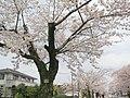 (福島県) 夜ノ森駅近く、夜の森公園。ソメイヨシノの桜並木が2.5kmも続く。まさに桜のトンネルですね。訪れたときには桜は満開。公園も華やかなムードでした。 - panoramio.jpg