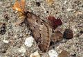 (1663) March Moth (Alsophila aescularia) (6921944859).jpg