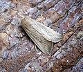 (2204) Obscure Wainscot (Leucania obsoleta) (35517405415).jpg