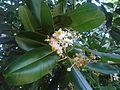 (Calophyllum inophyllum) at VUDA Park 11.JPG