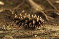 (Pinus strobus L.).jpg