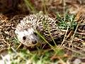 Σκαντζόχοιρος (Erinaceus concolor).jpg