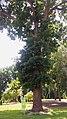 Вікові дуби у Борзні.jpg