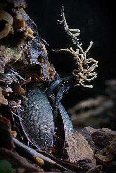 Кордицепс серо-пепельный - Cordyceps entomorrhiza.jpg