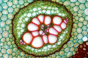 Pteridium aquilinum - Amphycribral vascular bundle of a common bracken rhizome