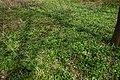 Проліска сибірська в Червонохиженській балці.jpg